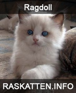http://raskatten.info/ragdoll/